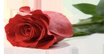 electra-redrose