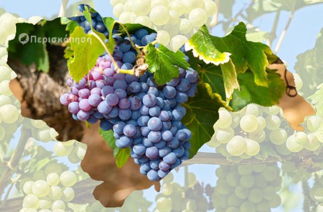 Ημαθία, οίνος, κρασιά, αγροτικά