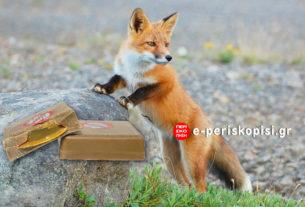 Ξεκινά το πρόγραμμα αντιλυσσικού εμβολιασμού κόκκινων αλεπούδων για το φθινόπωρο