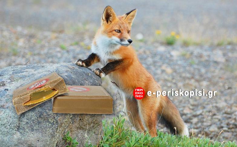 Ημαθία: ξεκινά η αξιολόγηση της αποτελεσματικότητας των εμβολιασμών των κόκκινων αλεπούδων