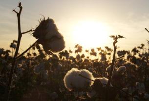 Την άμεση στήριξη των βαμβακοκαλλιεργητών ζητά ο Αγροτικός Σύλλογος Αλεξάνδρειας.